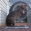 Orange County Rat Removal
