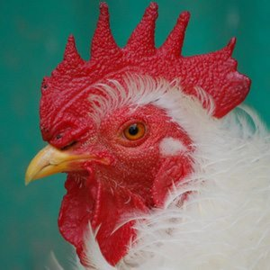 Profile picture for United Poultry Concerns