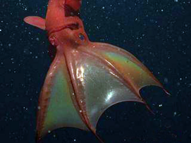 Vampire Squid From HellVampire Squid From Hell