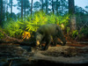 Saving Florida's Black Bears