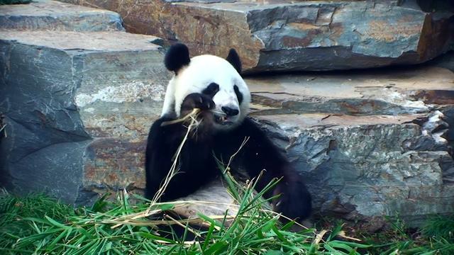 Giant Panda Romp at Adelaide Zoo!