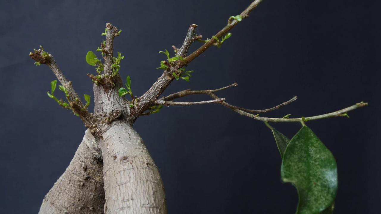 how to bring a ficus back to life