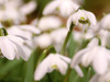Snowdrop Walk at Hopetoun House