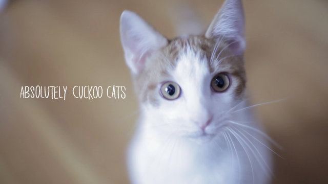 Thumbnail of video Absolutely Cuckoo Cats