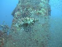 Pesce Pterois volitans