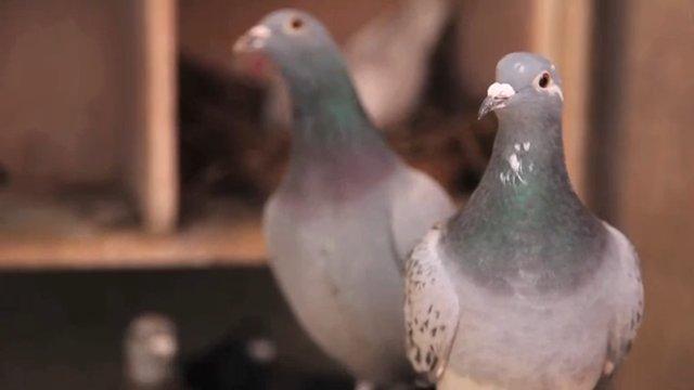 Pigeon D'or