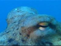 Il polpo (Octopus vulgaris)