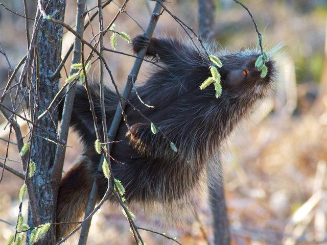 Porcupine Spring
