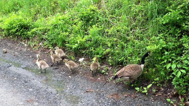 Goslings