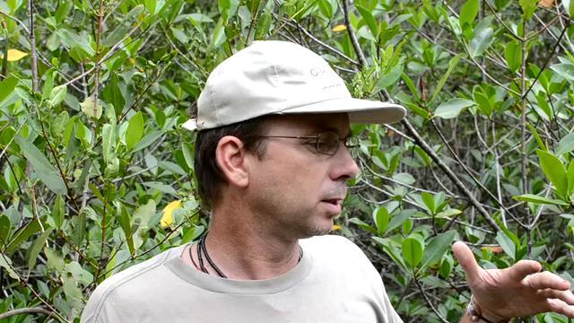 Red mangroves and shrimp farms in Ecuador