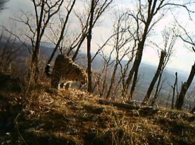 Amur leopard caught on camera trap