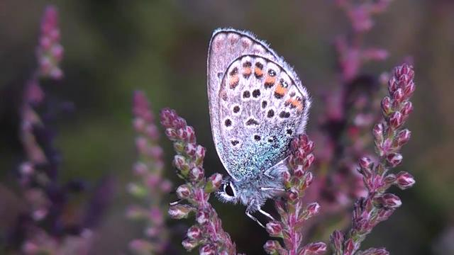 Silver-studded Blue Butterfly 13-07-11