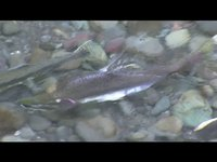 Pink salmon spawn in Dungeness River