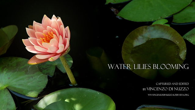 water lilies blooming - timelapse