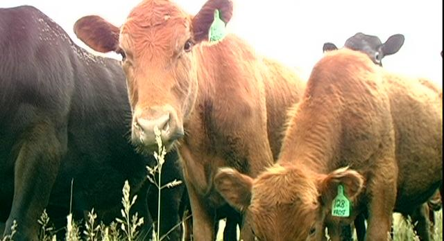 "Prescott Frost Organic Farms - web story ""Raising Cows on Grass"""