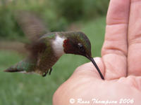 Ruby-throated Hummingbird Eating From My Hand (Part One)