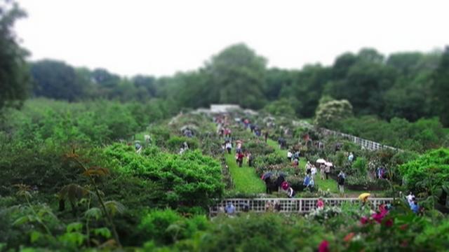 Cranford Rose Garden Time-lapse at Brooklyn Botanic Garden