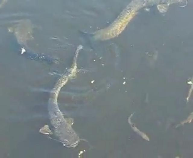European Catfish near Chernobyl on Vimeo