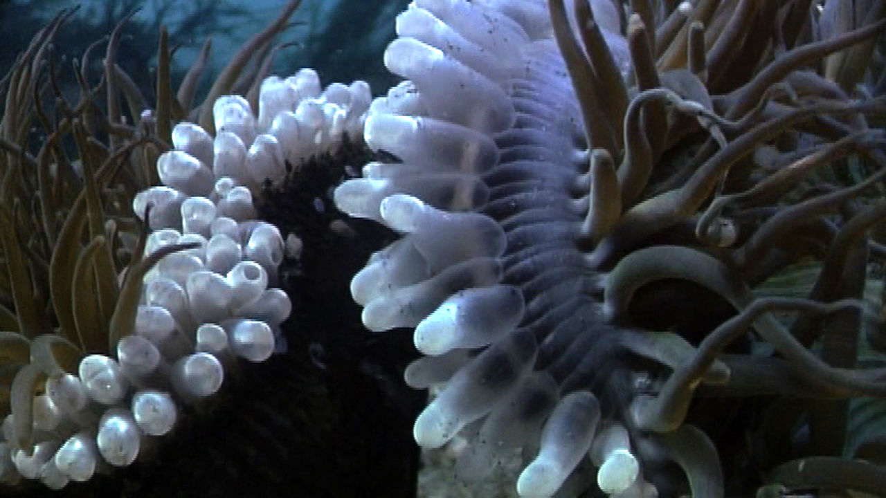 Anemones Attack