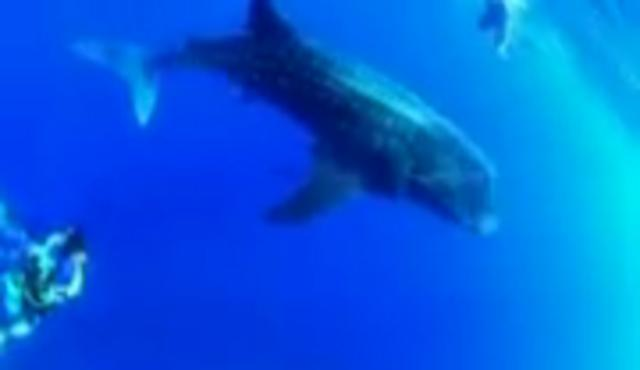 Whale Sharks in Kenya 2011