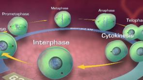 Cell division mitosis cell cycle G1 phase S phase G2 phase M phase interphase prophase prometaphase metaphase anaphase telophase cytokinesis  polo kinase polo-like kinase ATP centrosome spindle assembly chromosome segregation