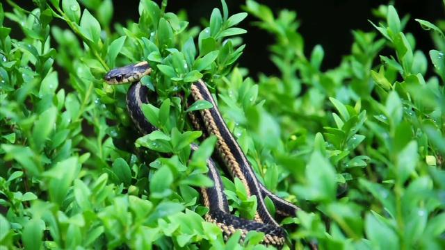 D90 (108): 090714 Milk Snake Garter Snake Wood Thrush Catbird