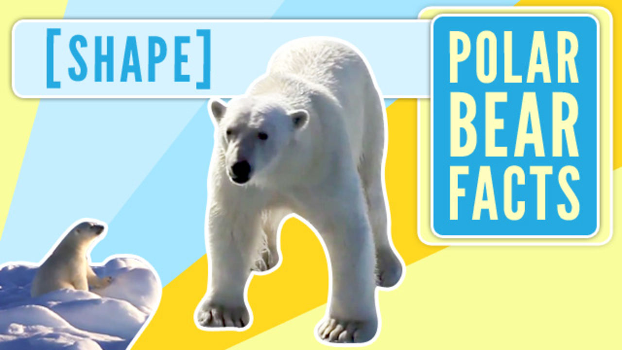 Polar Bear Facts - Shape - To The Arctic IMAX
