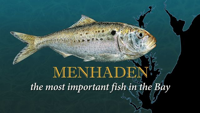 Image gallery menhaden fish for Menhaden fish meal