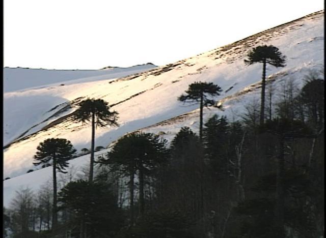 La Araucaria Araucana, es un árbol centenario que habita en las zonas altas de la cordillera de la Región de la Araucanía en Chile.