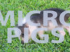 Yep, It's Micro Pigs!