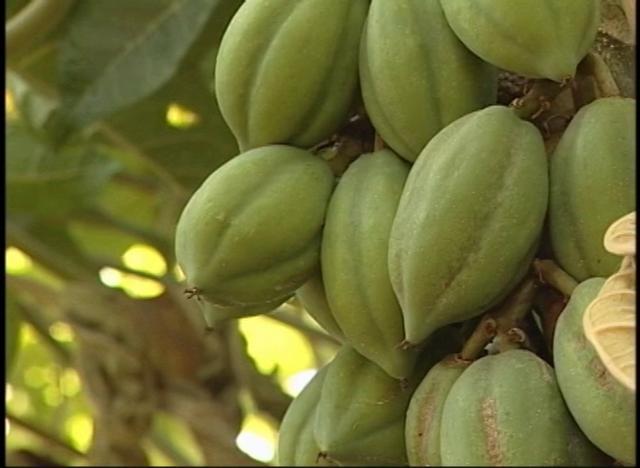 Reproducción, trasplante y método de cultivo del papayo.