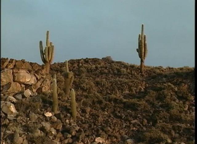 Método exitoso de germinación del Cactus Gigante de Atacama.