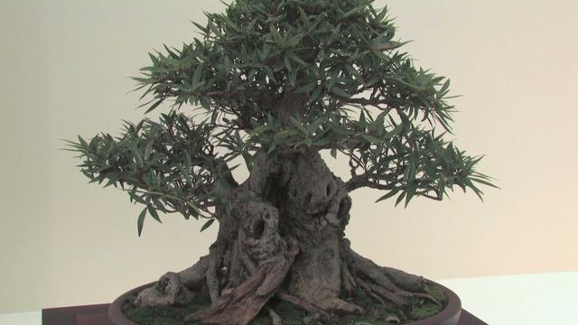 An Overview of Bonsai with the Yama Ki Bonsai Society