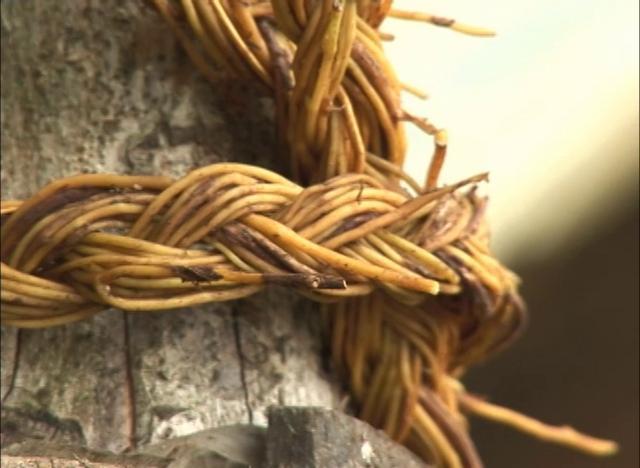La Quilineja es una enredadera que se utiliza para la confección de canastos y otras aplicaciones en Chiloé.