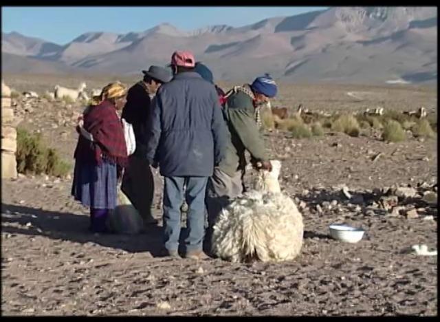 La ceremonia del floreo es una tradicional forma de marca y conteo de los animales en el altiplano.