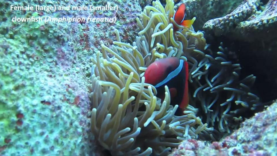 Tomato clownfish anemone - photo#9