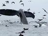 Kayak da mare da Kodiak ad Homer (Alaska)