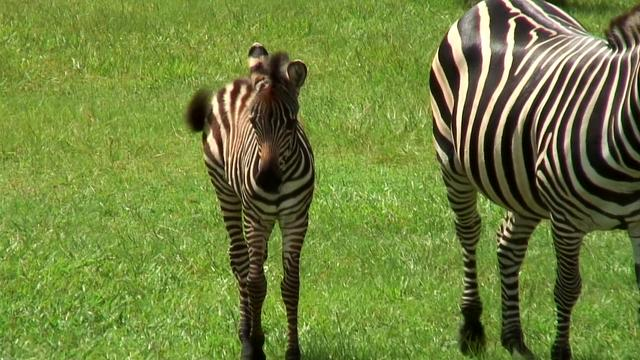 Zebra Filly