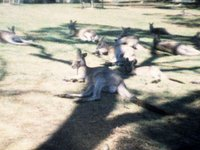 Kangaroos at Bonorong Wildlife Sanctuary (00:28)