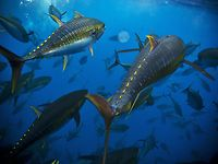 Expedition Marlin Episode - YELLOWFIN TUNA FRENZY