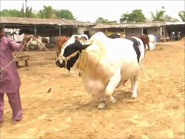 Shah Cattle Farm