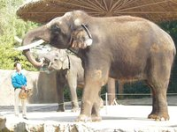 Elephant Koshik at Everland Zoo producing speech-like sounds (test upload)