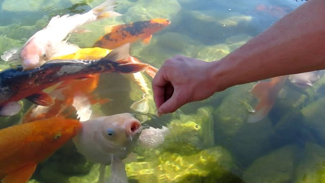 Hand feeding koi fish on vimeo for Feeding koi fish