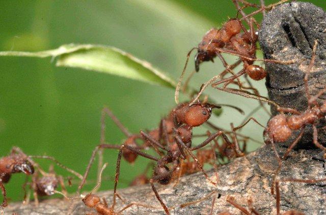 As Saúvas - Uma sociedade de formigas