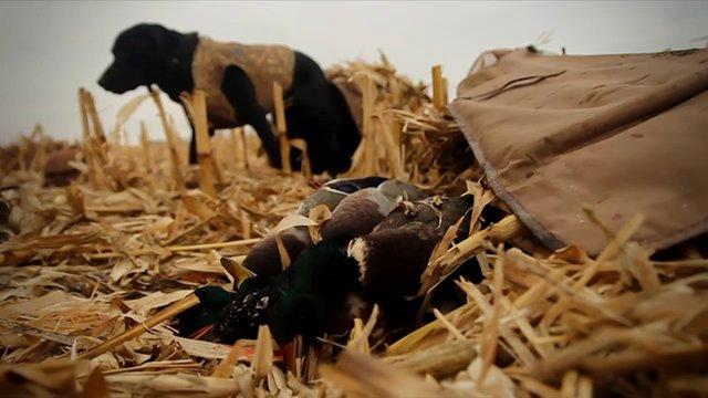 Duck Hunting Corn Fields in North Dakota - Fowled Reality Season 2 Teaser