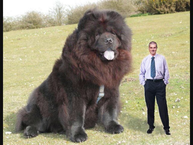 Boris Bear - The biggest dog in the world!