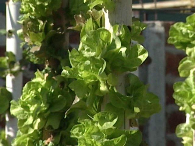 Es posible cultivar hortalizas en pequeñas superficies con hidroponía