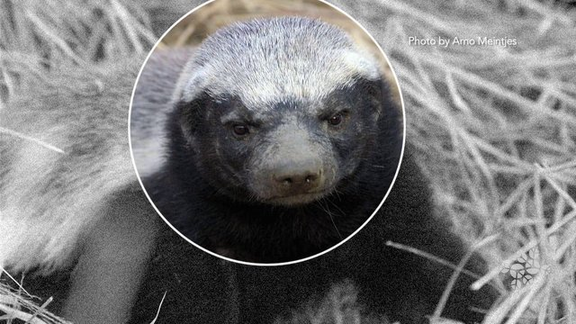 AskNature Nugget Ep. 12: Honey Badger