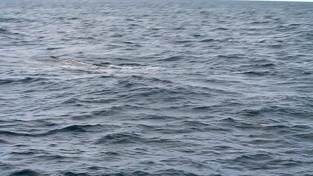 Nowa Zelandia Kaikoura - whale watch czyli kilka sekund za kilkaset dolarów