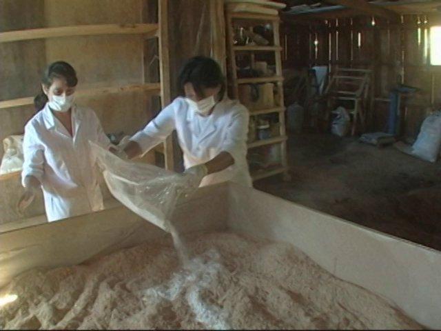 Un cultivo intensivo del hongo Shiitake.